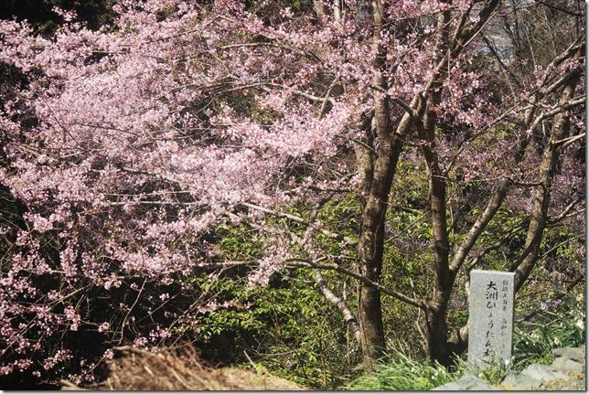 2020_03_23_ヒョウタンサクラ_03