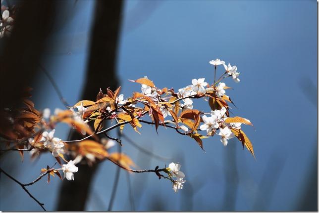 2020_03_23_山桜_02