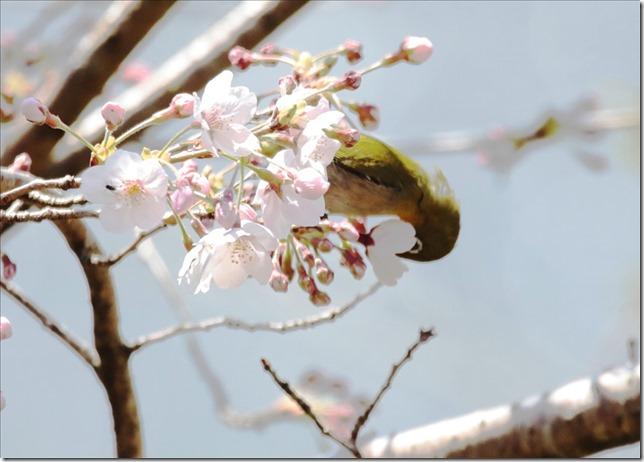 2020_03_23_桜にメジロ_04