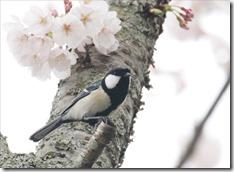 2020_03_30_桜と小鳥_00