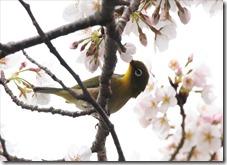 2020_03_30_桜と小鳥_03