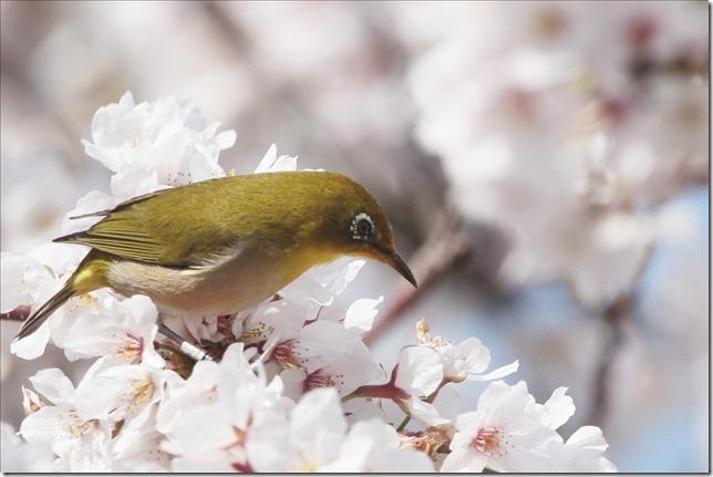 桜にメジロ_03_23_2021_13