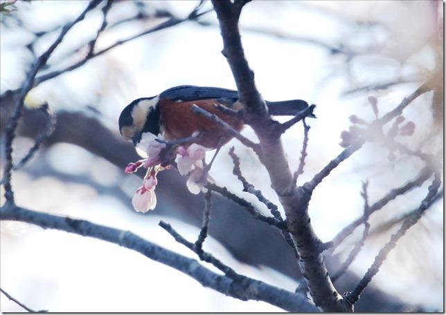 桜にヤマガラ_03_23_2021_02