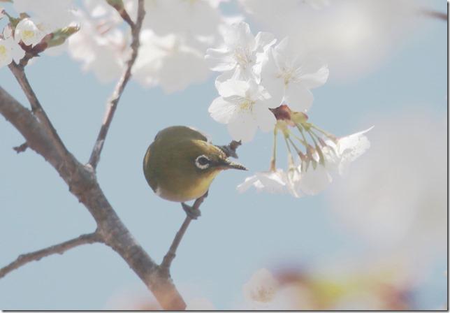 桜・・・・_03_26_2021_13